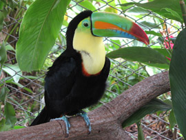 Keel-billed_toucan,_costa_rica.jpg